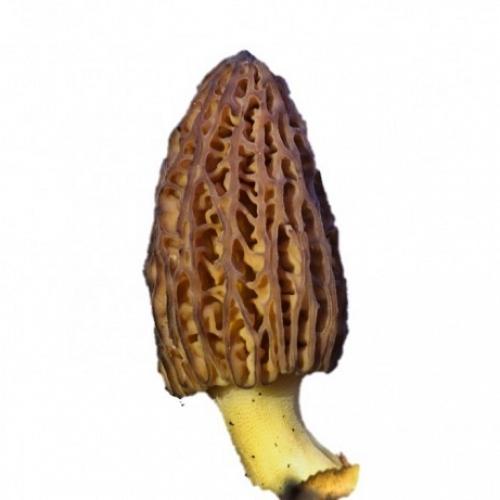 Colmenilla Fresca