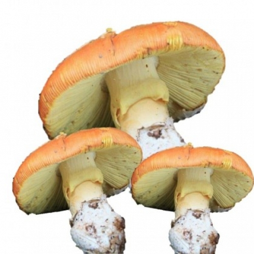 Fresh Caesar's Mushroom IIº