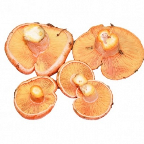 Fresh Red Pine Mushroom Extra